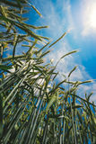 Low angle view of barley straws in cultivated field Royalty Free Stock Photos