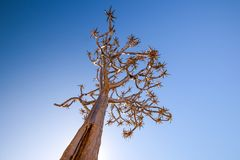 Low angle view of a beautiful quiver tree Aloe dichotoma in Fish River Canyon Nature Park in Namibia, Africa. The succulent tree is indigenous to Southern Stock Image