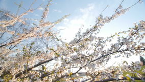 Low angle view of a blooming white cherry. Slow motion. Low angle view of a blooming white cherry tree canopy. Slow motion. Moving camera. Sunny day stock video footage