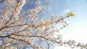 Low angle view of a blooming white cherry tree canopy. Camera moves through the flowering branches.Slow motion. Sunny day stock footage