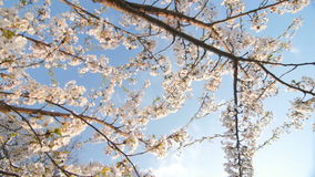 Low angle view of a blooming white cherry. Low angle view of a blooming white cherry tree canopy. Slow motion. Moving camera. Sunny day stock video footage