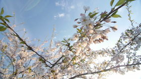 Low angle view of a blooming white cherry tree canopy stock video