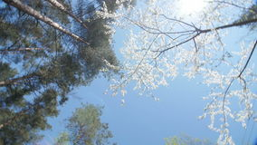 Low angle view of a blooming white plum tree canopy stock video