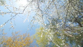 Low angle view of a blooming white plum tree canopy stock video footage