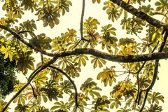 Rain Forrest Canopy, looking up. A low angle view of a branches and leaves in a rain forrest canopy in Costa Rica, summer 2017 Stock Photo