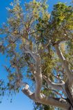 Eucalyptus tree Royalty Free Stock Images