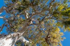 Eucalyptus tree Royalty Free Stock Photography