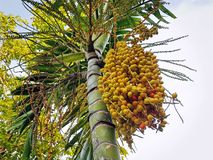 Low Angle View of Bunch of Yellow Palm Seeds on the Tree royalty free stock photography