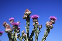 Low angle view Close up of prickly pink Milk Thistle, Silybum Marianum against blue sky in Sierra Nevada Andalusia Andalucia. Low angle view Close up of prickly stock images
