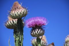 Low angle view Close up of prickly pink Milk Thistle, Silybum Marianum against blue sky in Sierra Nevada. Andalusia Andalucia, Spain royalty free stock photo