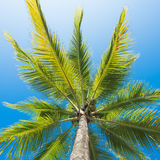 Low angle view coconut palm tree Royalty Free Stock Image