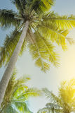 Low angle view on coconut palm trees Stock Photo