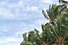 Low Angle View of Coconut Trees Against Cloudy Sky Royalty Free Stock Photography