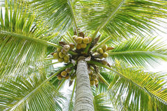 Low angle view coconuts fruits hanging on tree Royalty Free Stock Photo