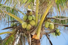 Mystery Island Coconuts. Low angle view of coconuts growing on tropical palm tree under a blue sky on Mystery Island, Vanuatu Stock Photo