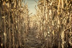 Low Angle view of a corn maze right before sunset royalty free stock photos