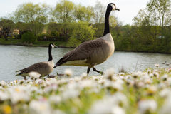 Low angle view on couple of wild gooses birds walking at lake in Royalty Free Stock Images