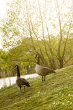 Low angle view on couple of wild gooses birds walking at lake in Stock Image