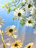 Low angle view of daisies in the sun stock photography