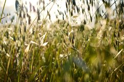 Defocused spring wild oat  field  over bright sky royalty free stock photos
