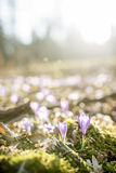 Low angle view of first spring saffron flowers blooming in beaut Royalty Free Stock Image