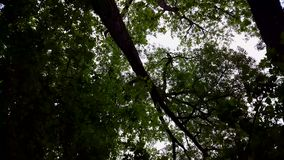 Low Angle View of Forest and Blue Sky With Wind Blowing.  Upward Viewpoint of Woodland Trees and Green Leaves Flowing stock footage