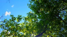 Low angle view of forest and blue sky with wind blowing. Upward viewpoint of woodland trees and green leaves flowing stock video