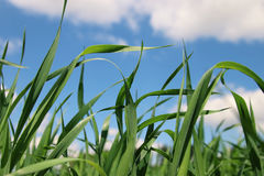 Low angle view of fresh grass against blue sky. Stock Photography