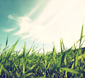 Low angle view of fresh grass against blue sky with clouds. freedom and renewal concept.  Royalty Free Stock Photography
