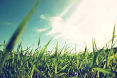 Low angle view of fresh grass against blue sky with clouds. Royalty Free Stock Images