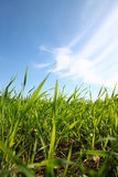 Low angle view of fresh grass against blue sky with clouds. freedom and renewal concept Royalty Free Stock Images