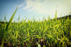 Low angle view of fresh grass against blue sky with clouds. freedom and renewal concept Royalty Free Stock Photos