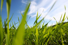 Low angle view of fresh grass against blue sky with clouds. freedom and renewal concept.  Stock Photo