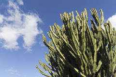 Low angle view on a giant cactus Royalty Free Stock Photography