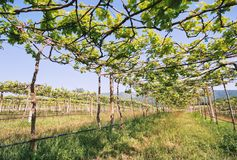 Low angle view of green grape vines in a row of vineyard. Vineyard landscape view, Low angle view of green grape vines stand in a row of vineyard royalty free stock photo