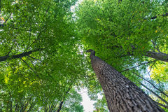 Low angle view of green and tall acorn Oak nut trees against the sky. Royalty Free Stock Photography