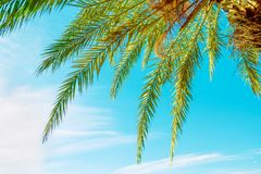 Low Angle View of Hanging Long Spiky Feathery Palm Tree Leaves on Clear Blue Turquoise Sky Background. Bright Summer Sunlight. Tropical Vacation Traveling Asia Royalty Free Stock Photography