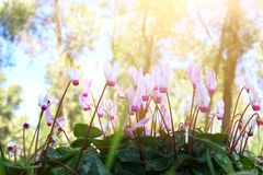 Low angle view image of fresh grass and spring cyclamen flowers. freedom and renewal concept. Selective focus. Low angle view image of fresh grass and spring Royalty Free Stock Image
