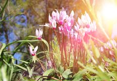 Low angle view image of fresh grass and spring cyclamen flowers. freedom and renewal concept. Selective focus. Low angle view image of fresh grass and spring Royalty Free Stock Photo