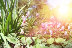 Low angle view image of fresh grass and spring cyclamen flowers. freedom and renewal concept. Selective focus. Low angle view image of fresh grass and spring Royalty Free Stock Photography