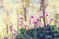 Low angle view image of fresh grass and spring cyclamen flowers. freedom and renewal concept. Selective focus. Low angle view image of fresh grass and spring Stock Images