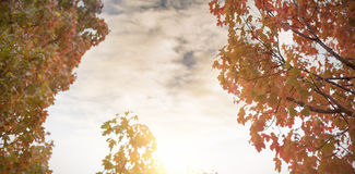Low angle view of maple trees. Against the sky Royalty Free Stock Photos