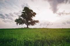 Low angle view of oak and maple grow together on green field in sunset Stock Images