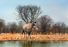 Free Low Angle View Of A Gemsbok Oryx  Standing Next To A Waterhole In Etosha Stock Photography - 156052332