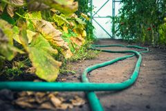 Free Low Angle View Of Cucumber Green And Yellow Leaves And Red Tomatoes In A Greenhouse, Garden Hose On The Ground, Closed Door In Stock Photo - 158741980