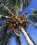 Coconut tree. Low angle view of palm tree crown with coconuts Royalty Free Stock Image