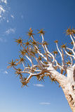 Low Angle View of Quiver Tree Royalty Free Stock Photos