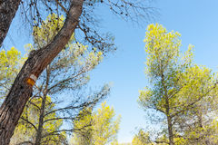 Low angle view of sky through pine trees with yellow and white h Stock Images