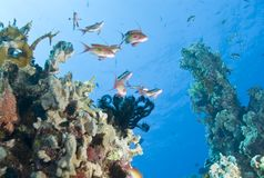Low angle view of small group of Lyretail anthias. Royalty Free Stock Photography