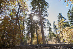 Low angle view of sun shining through trees in a forest Royalty Free Stock Photo